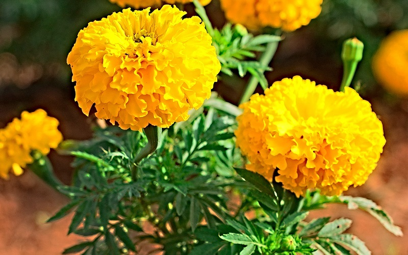 squash bug repellents, how to get rid of squash bugs with marigold