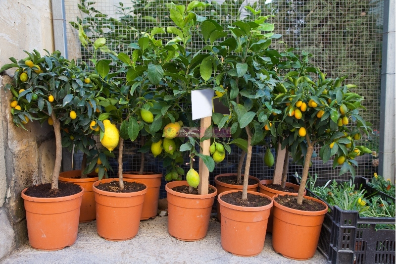 18 Best Ways To Grow Lemon Trees In Pots